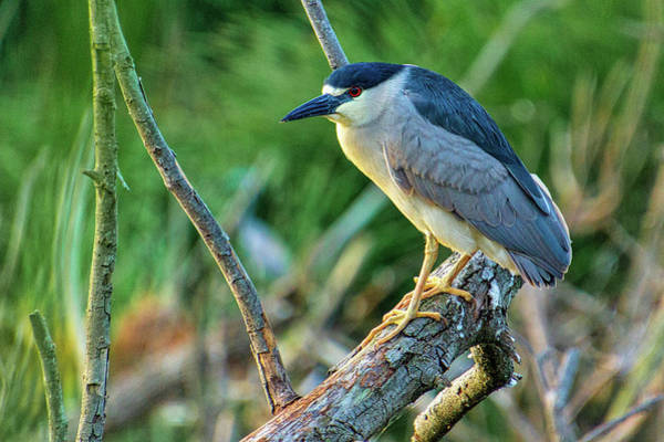 Photograph - Black Crowned Night Heron by Randy Bayne