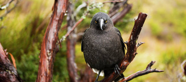 Photograph - Black Currawong by Rob D Imagery