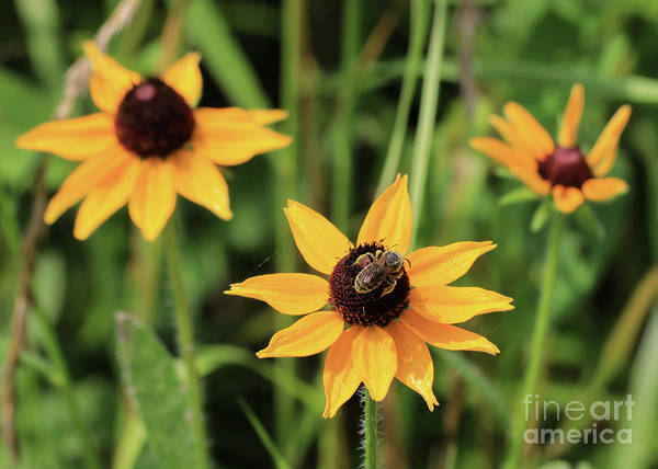 Photograph - Black Eyed  Susan And Bee by Paula Guttilla