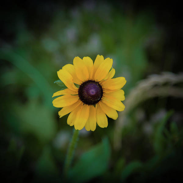 Photograph - Black-eyed Susan Close-up by Lora J Wilson