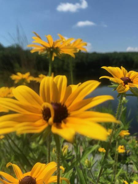 Photograph - Black-eyed Susan Flowers 2 by Jason Nicholas