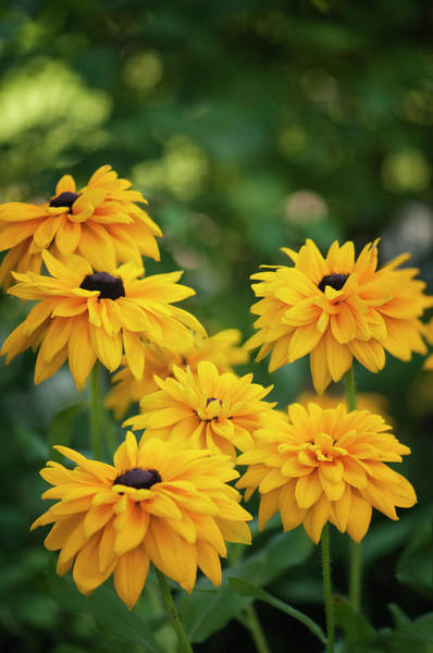 Rockville Photograph - Black-eyed Susan Flowers Blooming In by Maria Mosolova