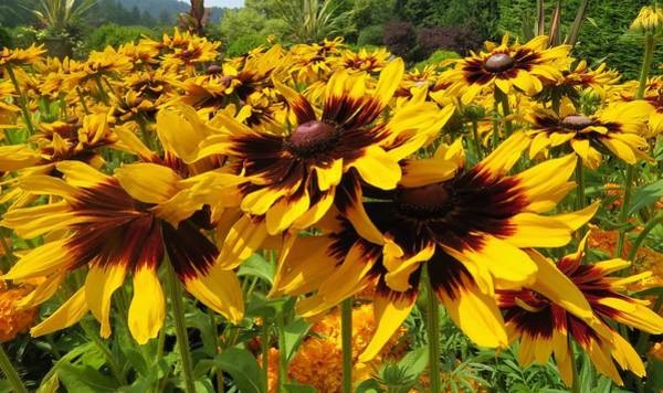 Photograph - Black-eyed Susan In Your Face by Joan Stratton