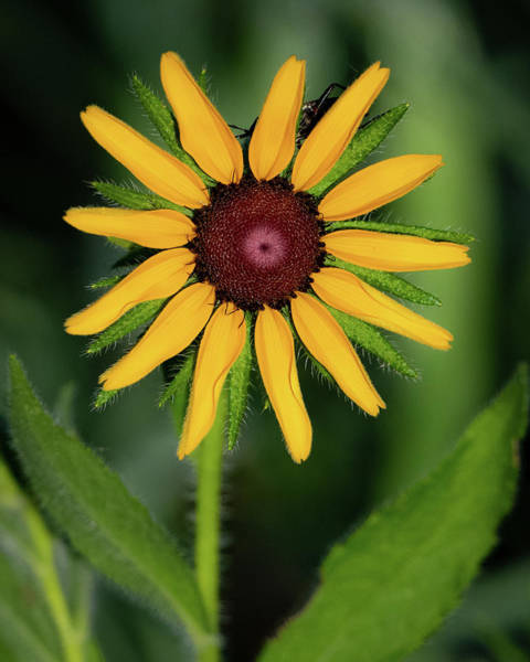 Photograph - Black Eyed Susan by Jeff Phillippi