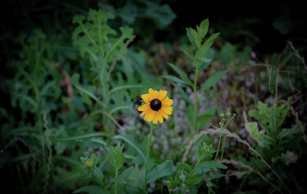 Wall Art - Photograph - Black-eyed Susan by Lora J Wilson