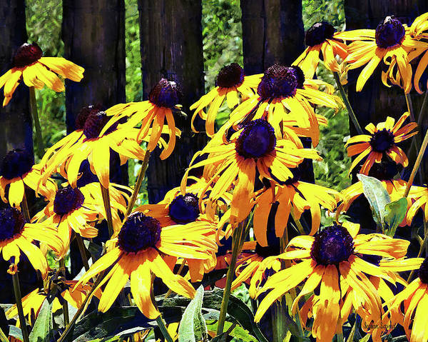 Photograph - Black Eyed Susans By Fence by Susan Savad