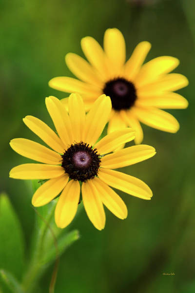Wall Art - Photograph - Black Eyed Susans by Christina Rollo