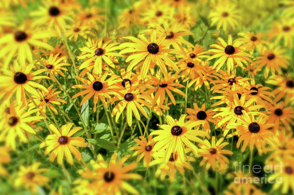 Wall Art - Photograph - Black Eyed Susans by Delphimages Photo Creations