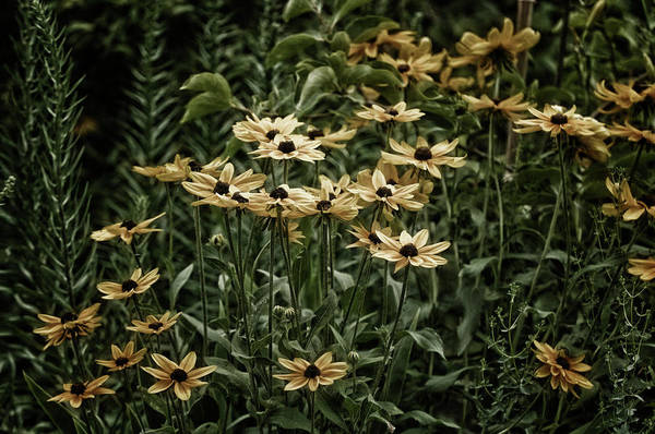 Rockville Photograph - Black-eyed Susans In Bloom by Maria Mosolova
