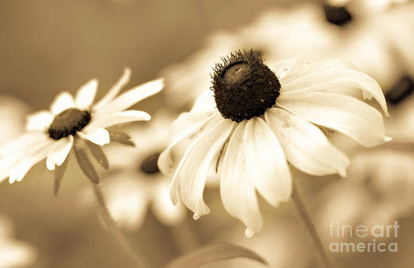 Photograph - Black-eyed Susan's by Pam  Holdsworth