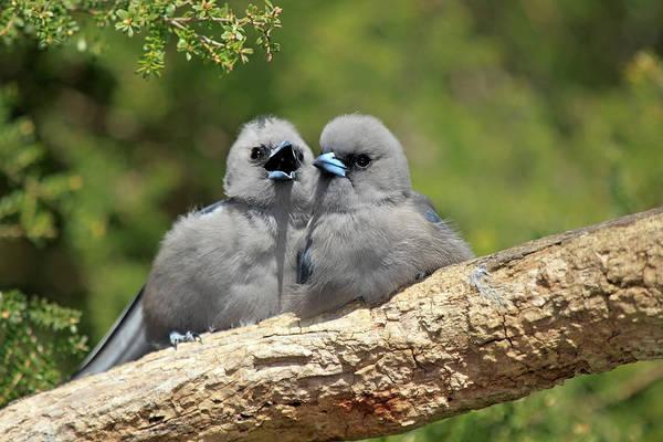 Urban Wildlife Photograph - Black Faced Woodswallow Artamus Cinereus by Tier Und Naturfotografie J Und C Sohns