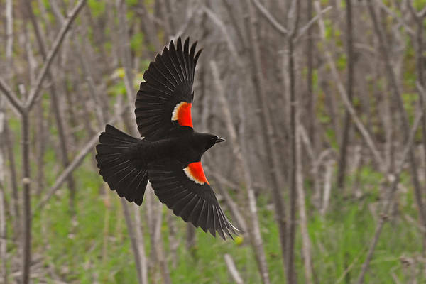Wall Art - Photograph - Black Feathers In-flight by Asbed Iskedjian