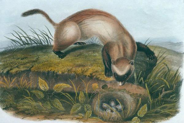Digital Art - Black-footed Ferret Mustela Nigripes By by Tom Mchugh