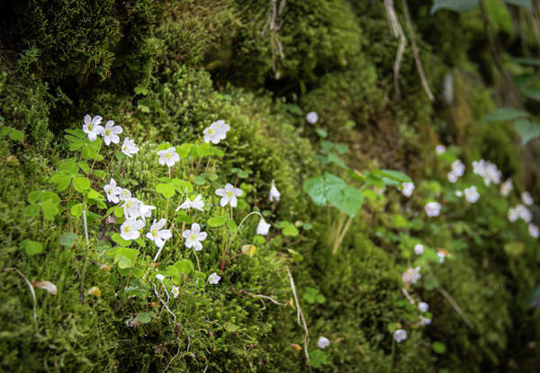 Wall Art - Photograph - Black Forest Wood Sorrel by Teresa Mucha