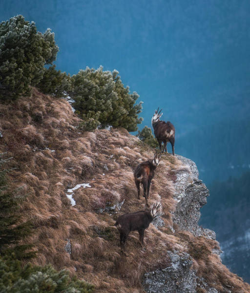 Wall Art - Photograph - Black Goats by Adrian Malanca