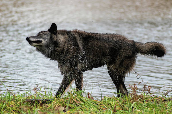 Photograph - Black Grey Wolf Shaking Himself Dry by Dan Friend
