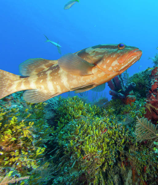 Wall Art - Photograph - Black Grouper, Northern Bahamas by Stuart Westmorland