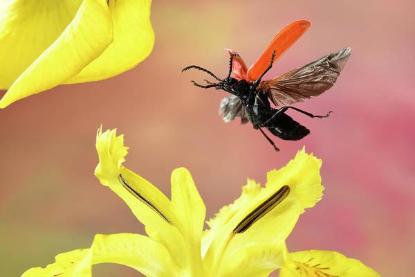 Wall Art - Photograph - Black-headed Cardinal Beetle Pyrochroa Coccinea In Flight On A Yellow Flag Iris Pseudacorus Germany by imageBROKER - Andre Skonieczny
