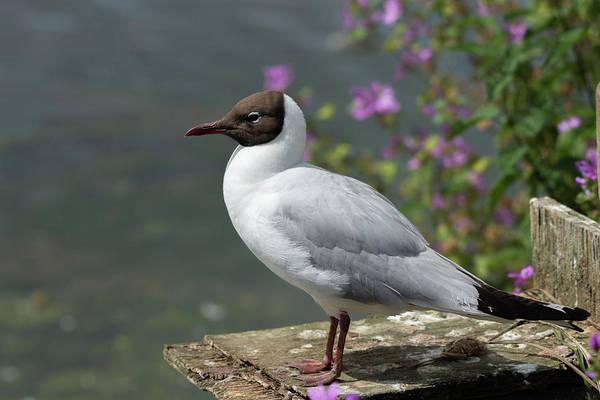 Photograph - Black Headed Gull On Watch by Scott Lyons