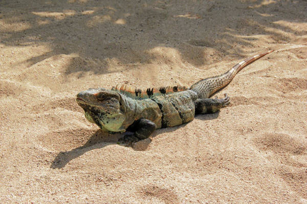 Photograph - Black Iguana by Sun Travels