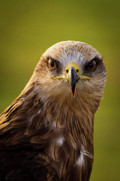 Black Kite Photograph - Black Kite by Peter Orr Photography