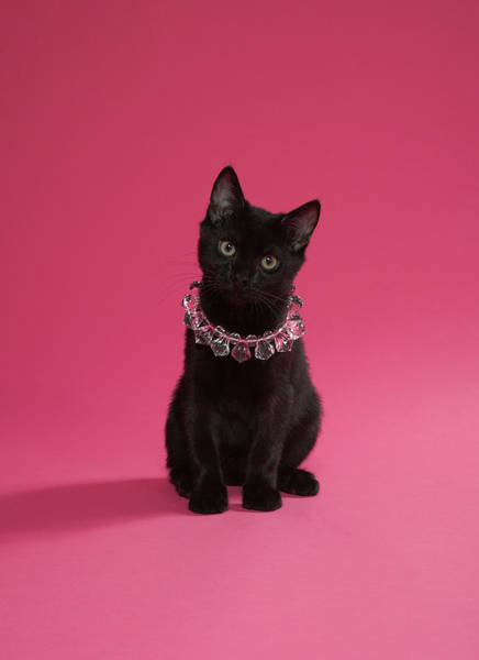 Wall Art - Photograph - Black Kitten Wearing Jewelled Necklace by Peety Cooper