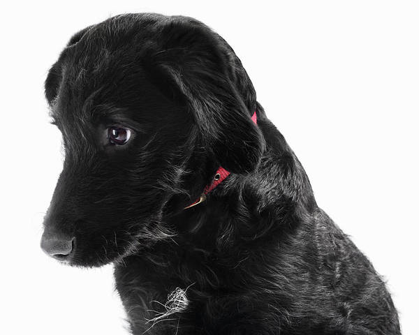 Breed Of Dog Photograph - Black Labradoodle by Gandee Vasan