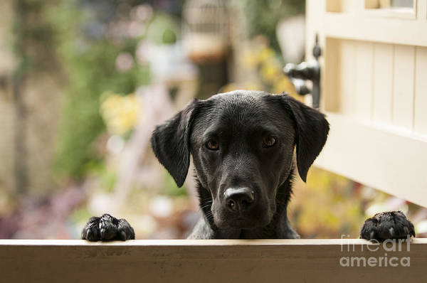 Wall Art - Photograph - Black Labrador by Claire Norman