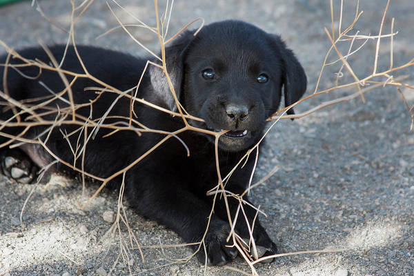 Wall Art - Photograph - Black Labrador Retriever Puppy Chewing by Zandria Muench Beraldo