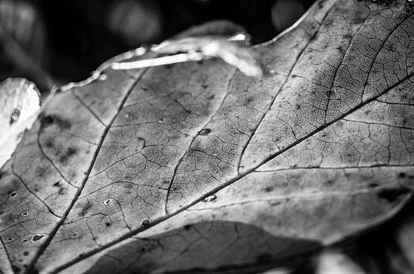 Photograph - Black Leaf by James L Bartlett