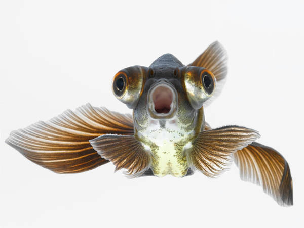 Moored Photograph - Black Moor Goldfish Carassius Auratus by Don Farrall