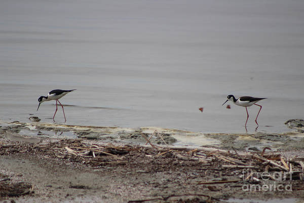 Photograph - Black Neck Stilt And Painted Ladies Butterflies At North Shore Salton Sea 2 by Colleen Cornelius