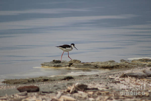 Photograph - Black Neck Stilt At North Shore Salton Sea 2 by Colleen Cornelius
