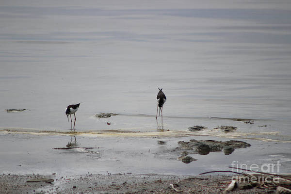 Photograph - Black Neck Stilt At North Shore Salton Sea by Colleen Cornelius