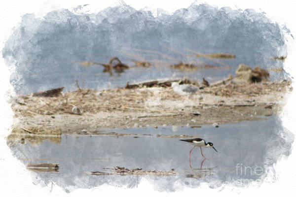 Photograph - Black Neck Stilt Feeding At Salton Sea In Digital Watercolor by Colleen Cornelius