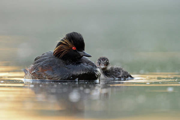 Wall Art - Photograph - Black-necked Grebe / Eared Grebe, Podiceps Nigricollis, Together With Juvenile Chick  by Wonderfulearth