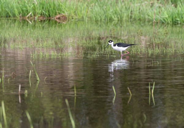 Horicon Wall Art - Photograph - Black-necked Stilt 2018-1 by Thomas Young