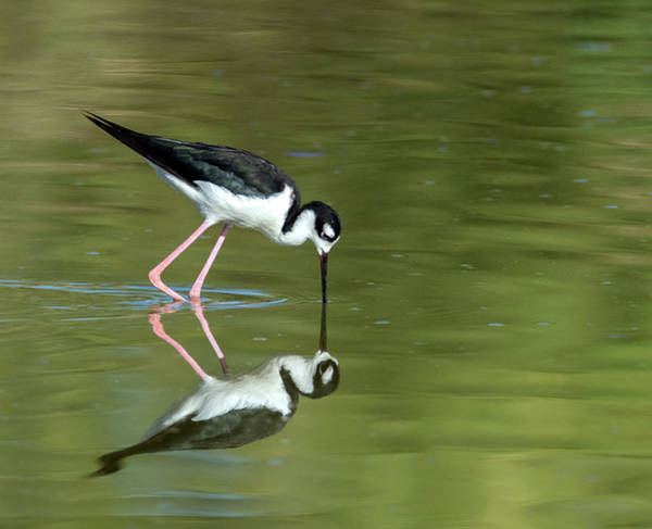 Photograph - Black-necked Stilt 2375-070919 by Tam Ryan