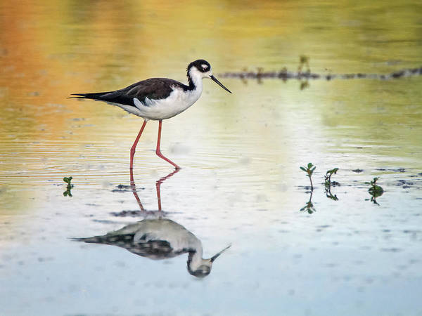 Photograph - Black-necked Stilt 3171-092518-1cr by Tam Ryan