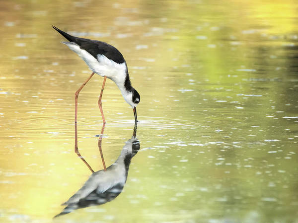 Photograph - Black-necked Stilt 3177-092518-1cr by Tam Ryan