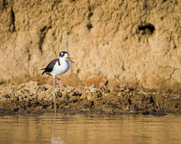 Photograph - Black Necked Stilt Hato Berlin Casanare Colombia by Adam Rainoff