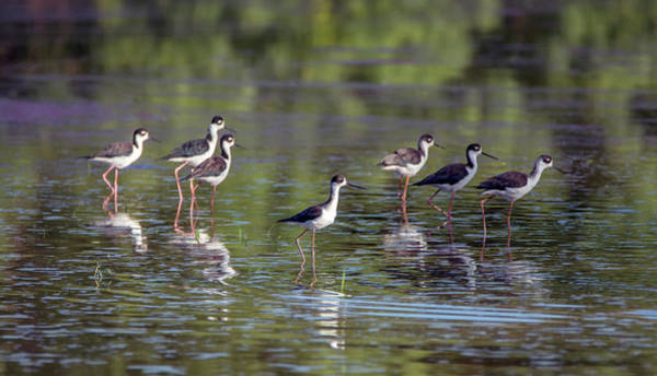 Photograph - Black-necked Stilts 3429-100818-1cr by Tam Ryan