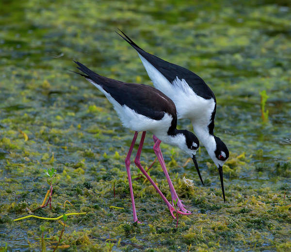 Photograph - Black-necked Stilts by Kevin Banker