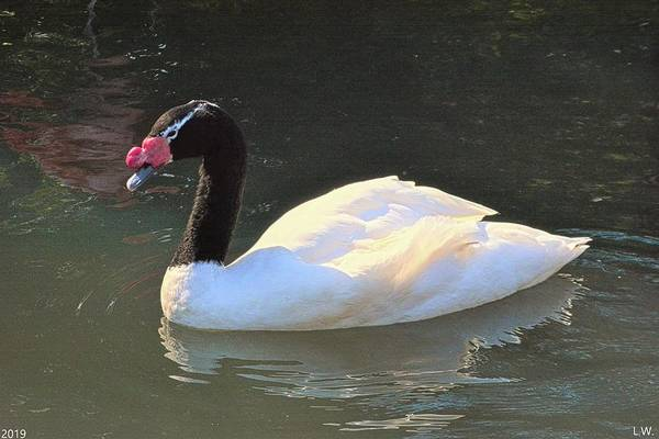 Photograph - Black-necked Swan by Lisa Wooten