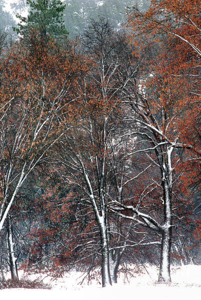 Photograph - Black Oaks Quercus Kellogii California by Dave Welling