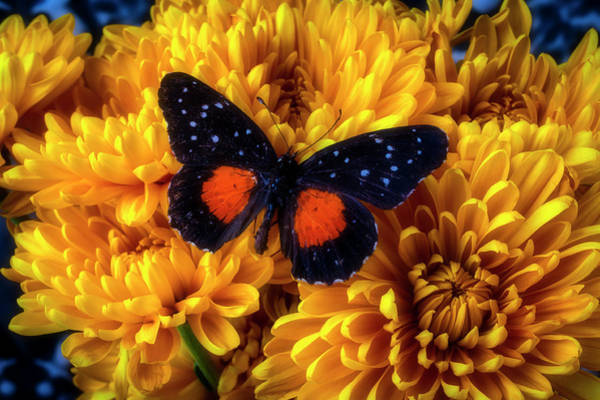 Photograph - Black Orange Butterfly On Yellow Mums by Garry Gay