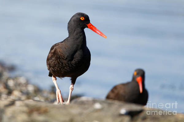 Photograph - Black Oystercatcher At The Beach by Sue Harper
