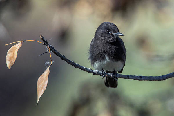 Photograph - Black Phoebe 8850-122818-1 by Tam Ryan