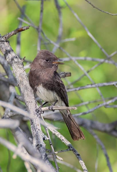 Chirping Photograph - Black Phoebe Calling by Loree Johnson