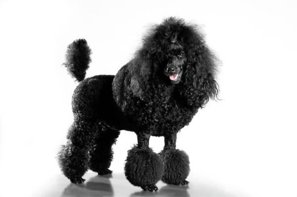 Poodle Photograph - Black Poodle by Cp Photo Art